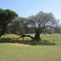 1600 let stara oliva
