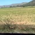 Makedonija polja tobaka